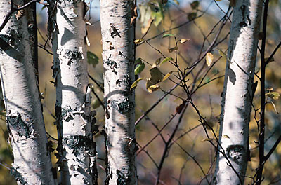 Birch trees Ontario Georgian Bay uid 1045989